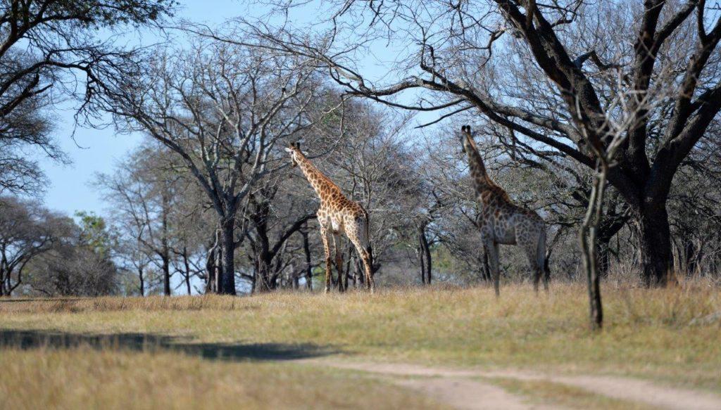 Caminhada do giraffe