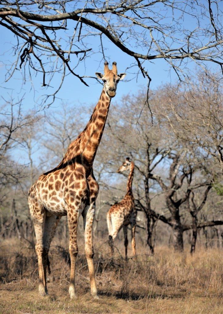 Découverte des girafes